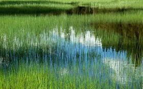 Marsh_grass