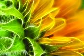 Sunflower_glow