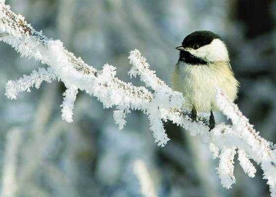 Chickadee_on_frosted_branch