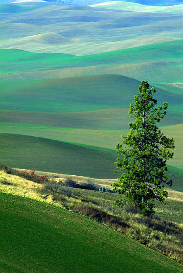 Kamiak_butte_tree-palouse