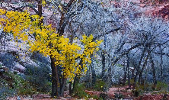 Moab_cottonwoods