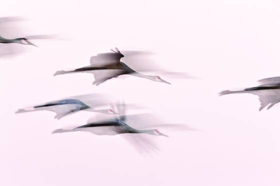 Sandhill_crane_flight_abstract