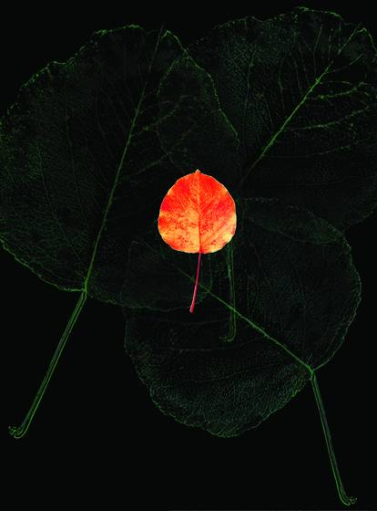 Poplar_leaf__4
