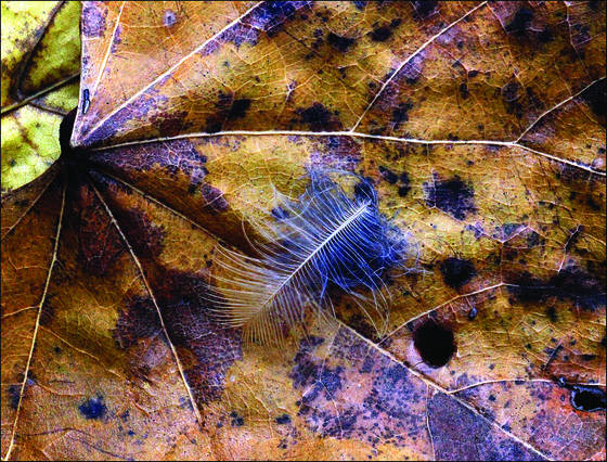 Feather_on_leaf