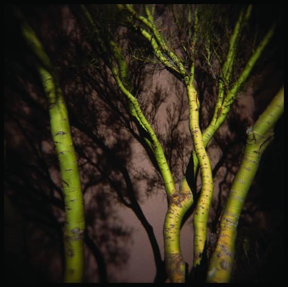 Palo_verde