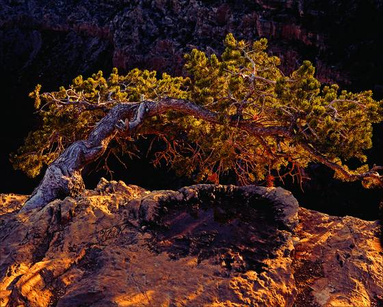 Canyon_juniper