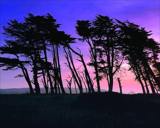 Coastal_pines