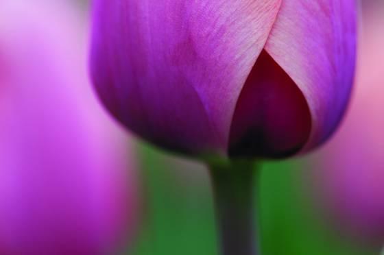 Tulip_3