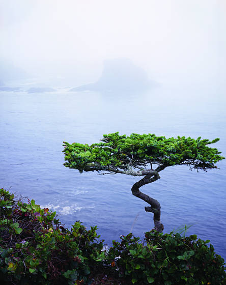Cape_flattery_pine
