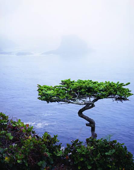 Cape_flattery_pine