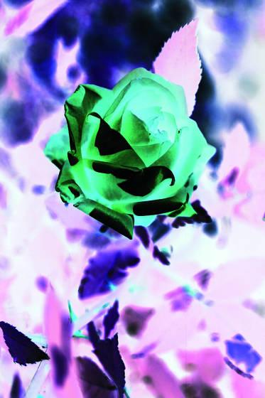 Green_rose_2