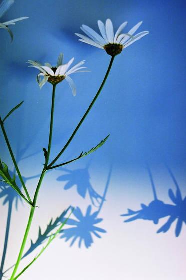 White_daisy_2