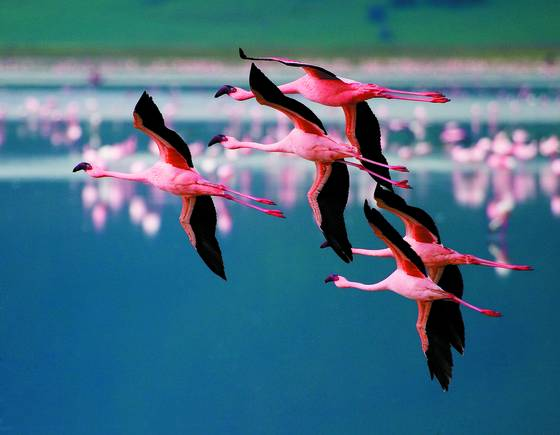 Flamingos_in_flight