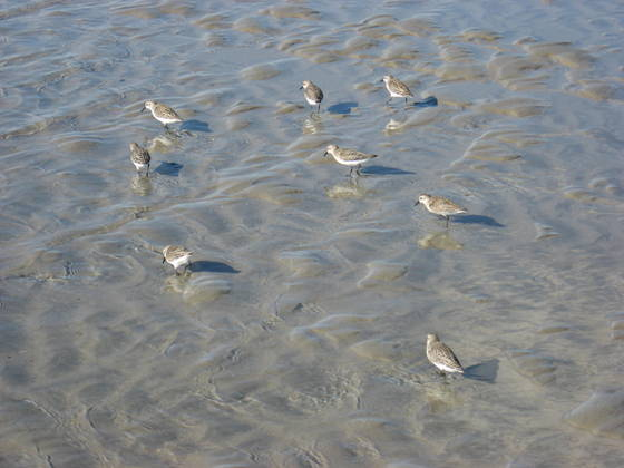Sand_birds