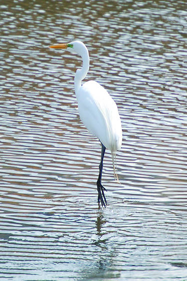 Great_white_egret_walking