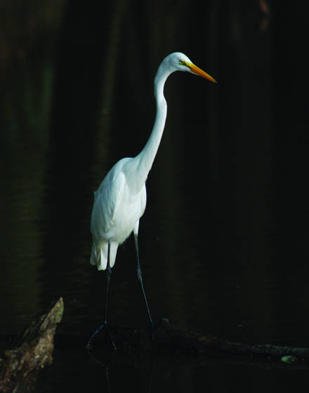Great white egret watching