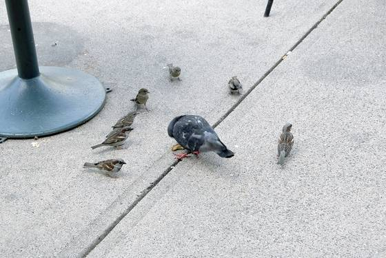 The pigeon and the sparrows 3