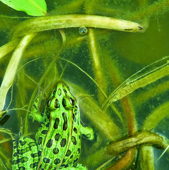 Leopard_frog