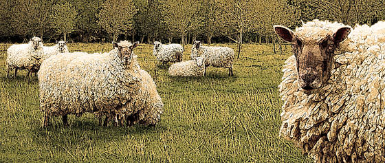 Sheep_landscape