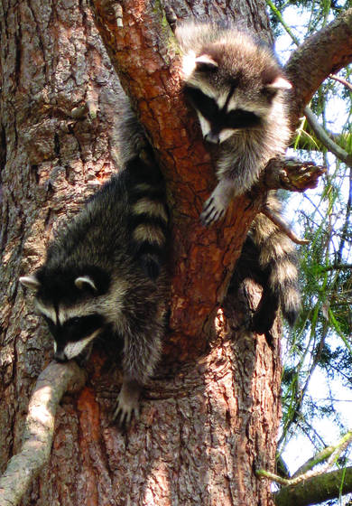 Raccoon_babies