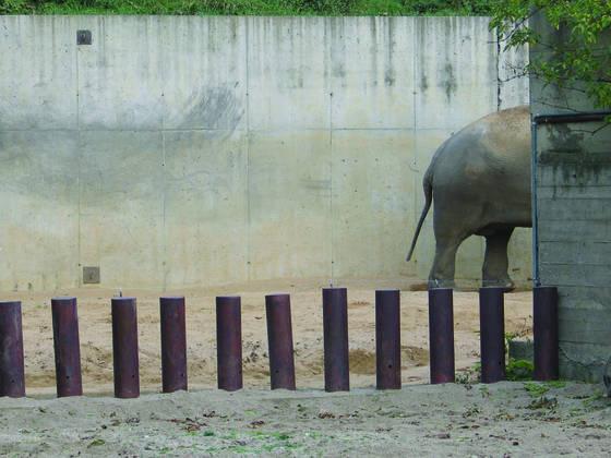 Elephas_maximus