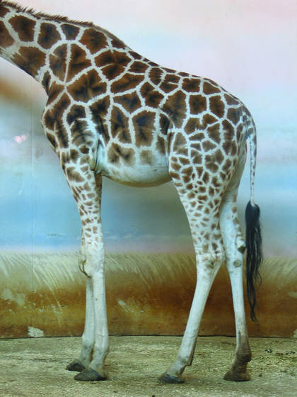 Giraffa_camelpoardalis_rothschildi