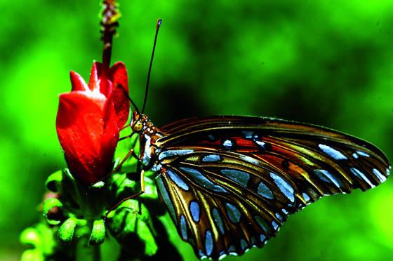 Butterfly__4
