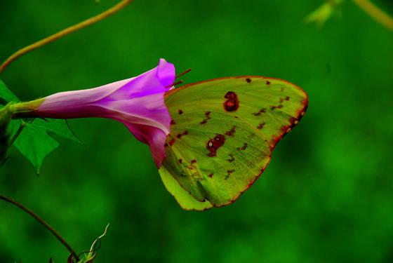 Butterfly__8