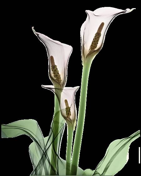 Calla lillies x ray