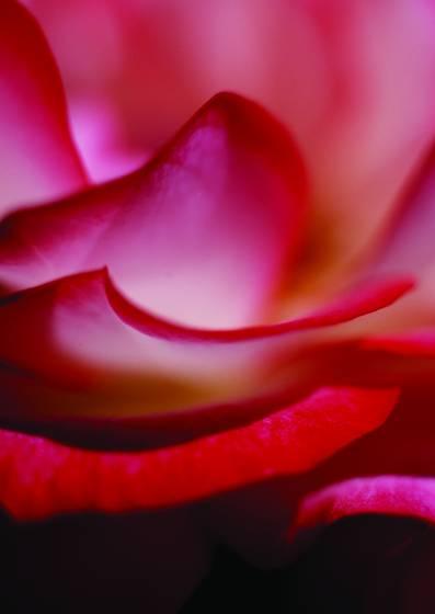 Rose_2