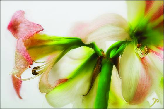 Amaryllis_day_36