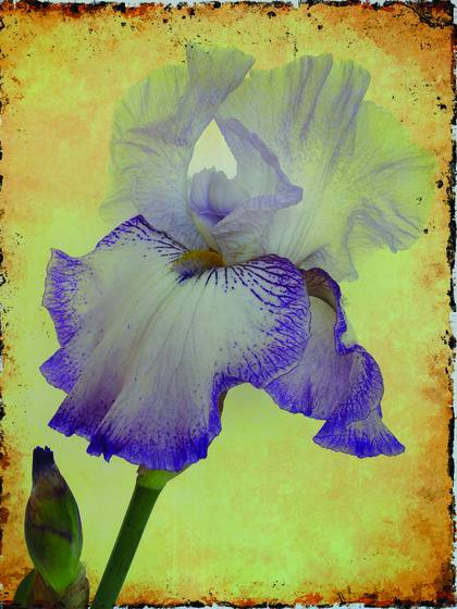Colorful_iris