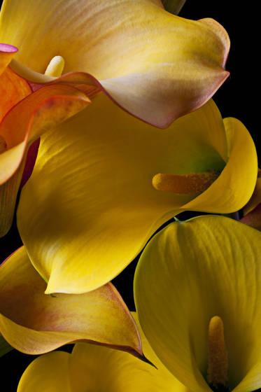 Call_lilies