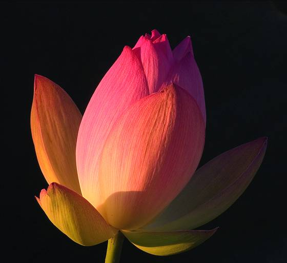 Glowing lotus