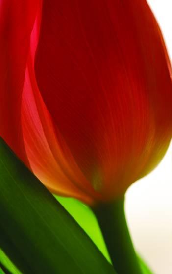 Pink_tulip