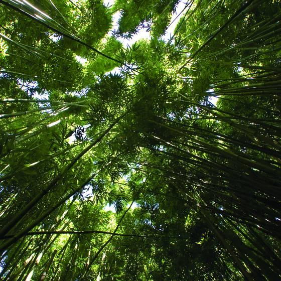 Bamboo_canopy