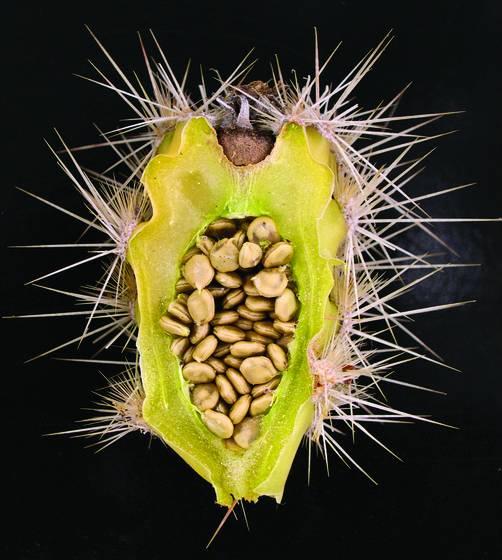 Cactus_fruit_1