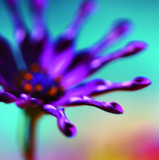 Purple_starburst