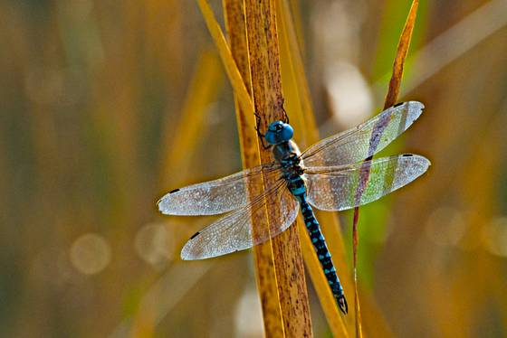 Transparent_dragonfly