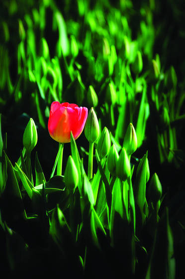 Lonely_tulip