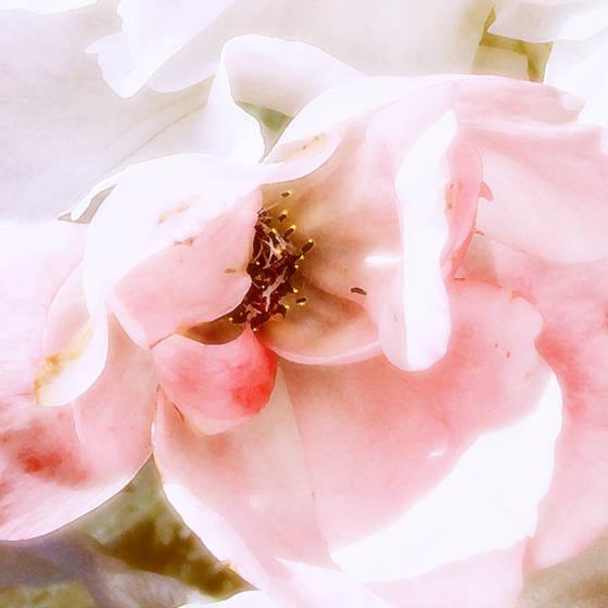 Rose_glow