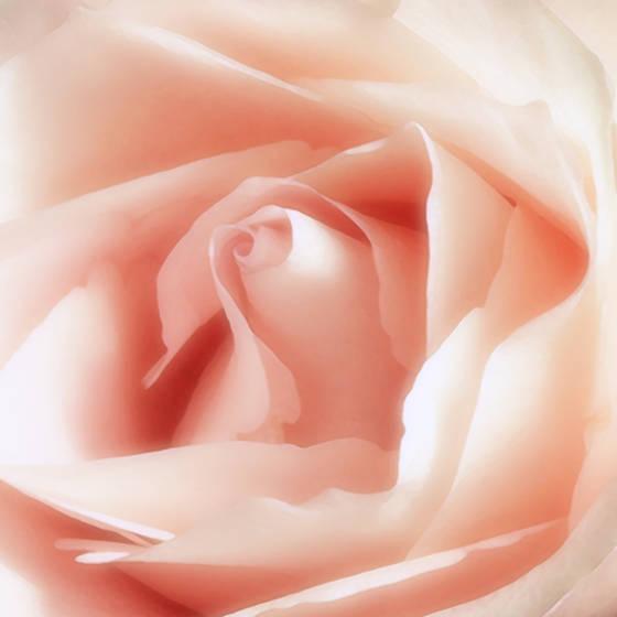Rose_iv