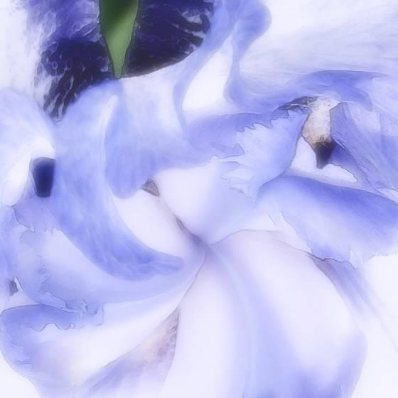Siberian_iris