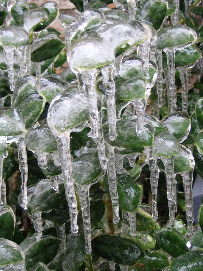 Ice_leaves