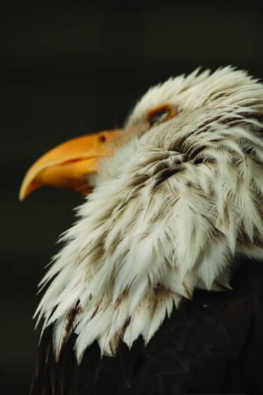 Bald_eagle