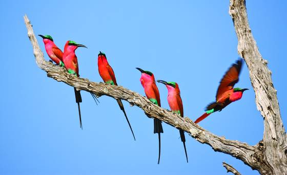 Carminebee-eaters-firstarrival