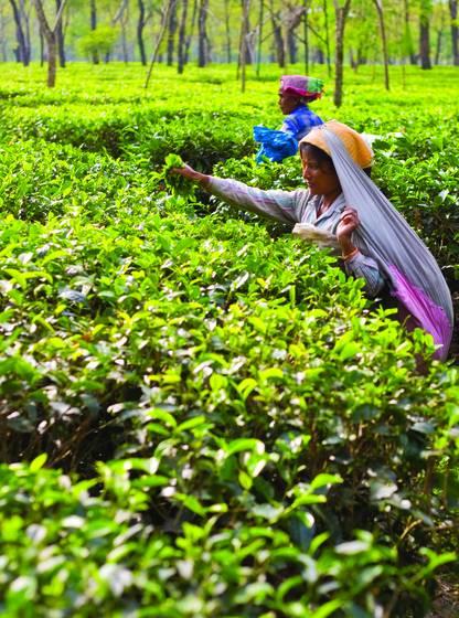 Tea_harvest