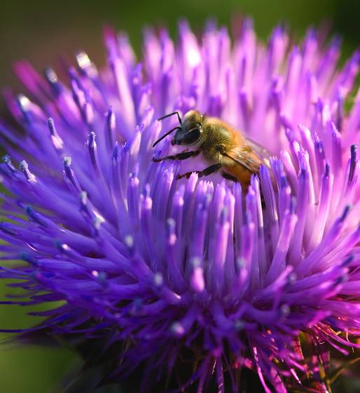 Bee_in_thistle