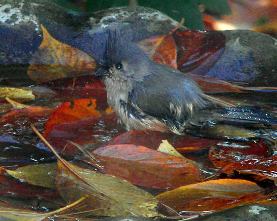 Blue_bird_bath