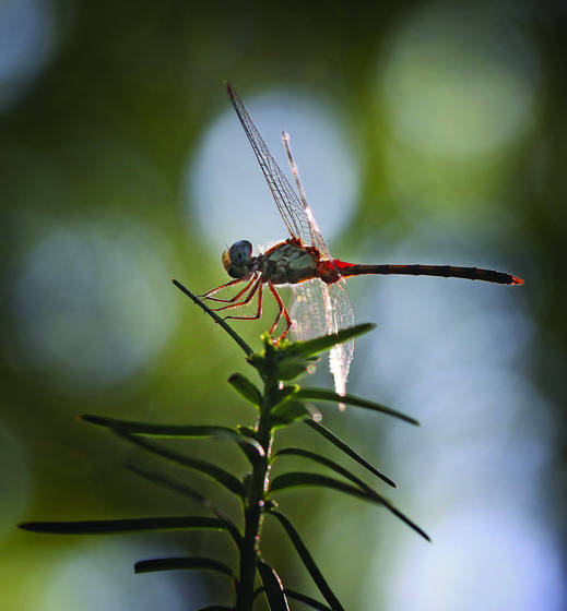 Balanced_dragonfly